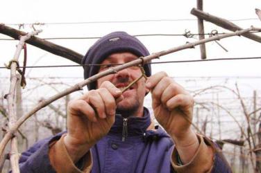 Antolini, uno dei migliori produttori della Valpolicella, a lavoro in vigna